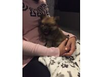 Male pomerainian 9 weeks old tan with some black marking call for more info