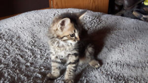 3 tabby males kittens to give away to good homes