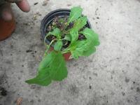 Plants for sale-Evening Primrose-40 p per pot