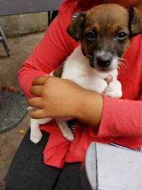 1 female pure breed miniature jack russell