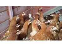 Warrner chickens