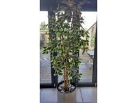 Lovely Tall 7FT Artificial Variegted Ficus Tree with Very Attractive Pot and Real Oyster Shells