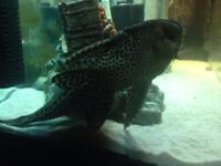 9 inch pleco fish