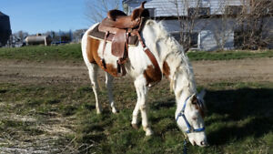 Registered Paint Gelding for Sale