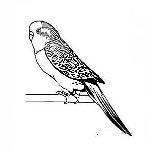 Found Parakeet/ Budgie Burlington Area