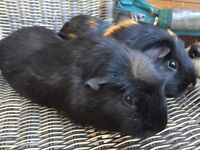 Reluctantly selling our 2 male friendly guinea pigs
