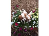 Cavalier King Charles puppys