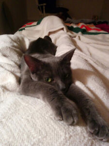 Female, grey shorthaired, 2yr old, fixed