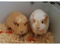 Three male guinea pigs.