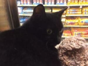 "Young Male Cat - Domestic Short Hair (Black): ""Denver"""