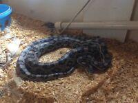 Corn snake black and grey (Anerythristic)