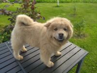 Chow Chow boy for sale