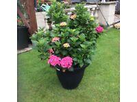 Large pink hydrangea
