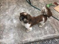 shih tzu shitzu male kc reg 13 months old male