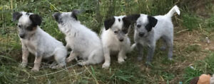 Blue Healer X 1/4 Border Collie Pups  ... Perfect family pets