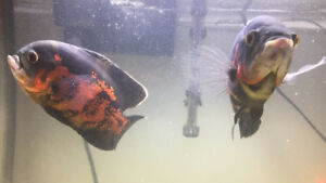 2 Large Oscar Fish For Sale