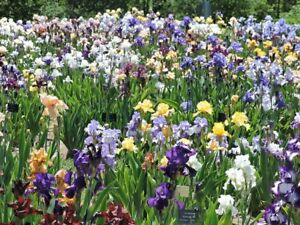 Irises early perennials sale thinning out garden plants