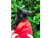 Gorgeous kittens ready for new homes - 2 Males left updated 25/7/2017