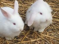Baby Bunnie Rabbits For Sale - Pair