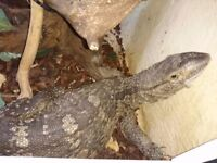 (rare) male white throat monitor