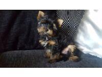 Yorkshire terrier 11weeks boy