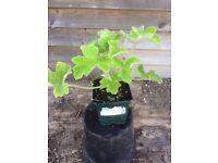 Peppermint scented Pelargonium 9cm pot - unusual