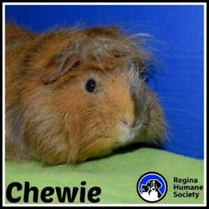 "Adult Male Small & Furry - Guinea Pig: ""Chewie"""