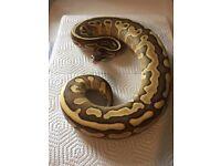 CB16 Lesser Leopard male royal python.