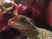 Free to good home Chinese water dragon