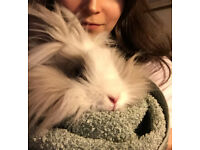 Sweet and Super Cute Lionhead Rabbit Looking for Love and Stability with an Experienced Rabbit Owner