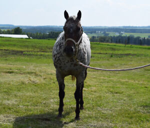 Pony of America mare for sale