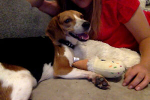 LOST DOG - BEAGLE - SIMCOE, ON - HILLCREST AND HWY 3 AREA