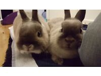 Two young seal point Netherland Dwarf rabbits, Buck (neutered) and Doe