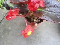 Plant for sale-A red dark leaf begonia plant in a 9 cm pot