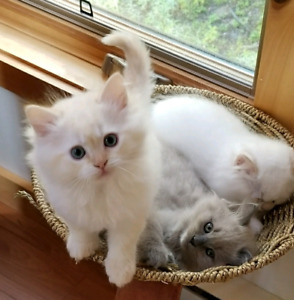 Himilayan X Ragdoll kittens ready to be adopted!