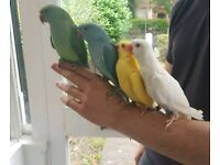 Indian Ringneck Parrot , pet bird + cage