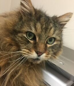 "Senior Male Cat - Domestic Long Hair-Tabby (Brown): ""Kimba"""