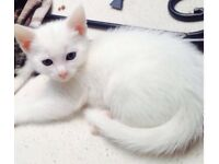 White kittens for adoption
