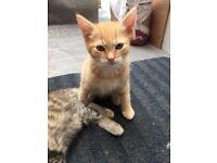 Half rag doll Ginger male cat