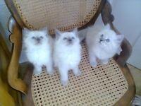 Birman x Ragdoll Kittens For Sale