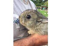 Baby netherland dwarf rabbits ready now