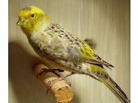 Canary male and feemale £25