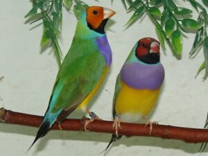 Male and female gouldians born 2016 and 2017