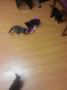 8 week old kittens free to good home!