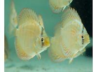 Samll discus fish - 3'' size - very cheap!