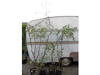 Job Lot of 5x Silver Birch Garden Trees 6ft to 9ft tall.