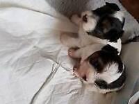 Minature pedigree yorkie pups