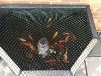 Garden pond fish for sale