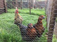 Trio of Hybrid hens/cokerel