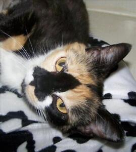 "Adult Female Cat - Domestic Short Hair: ""Athena"""